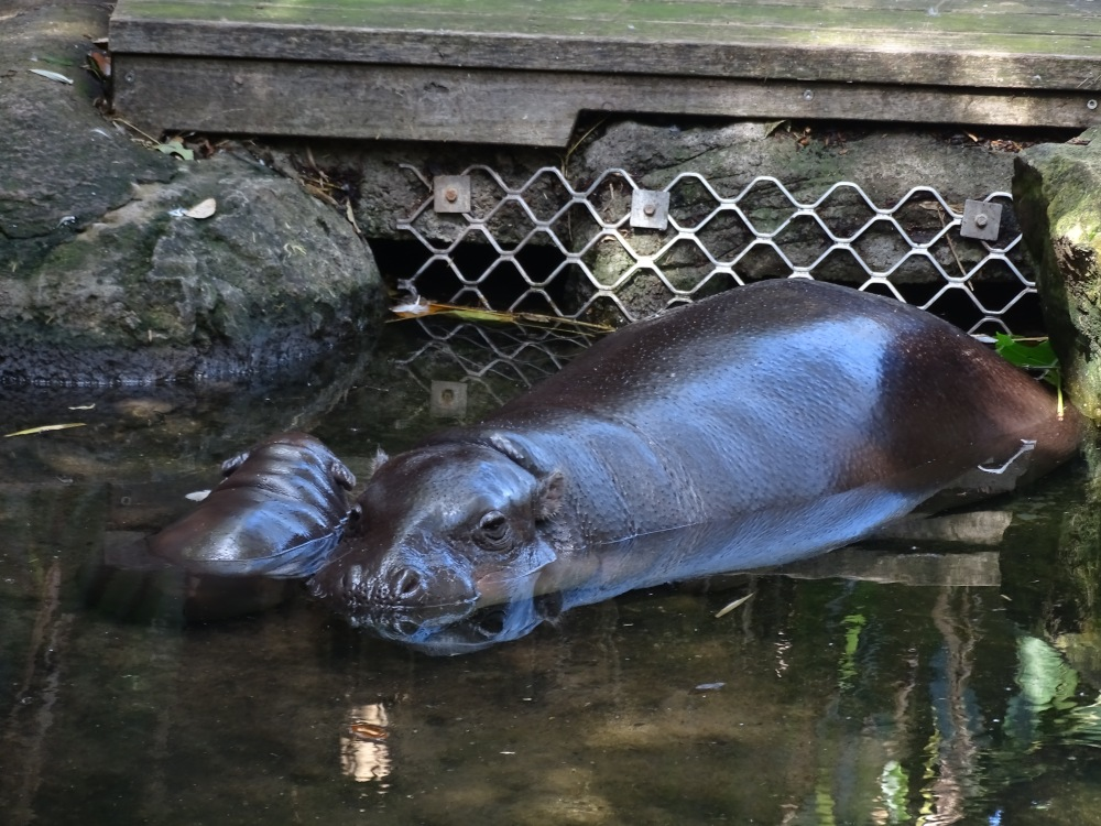 Hipopótamo pigmeu no zoológico de Sydney