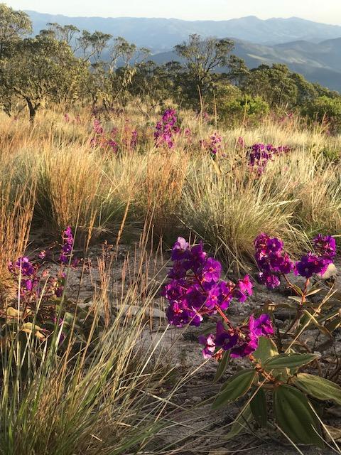 Flores rosas no parque de Ibitipoca